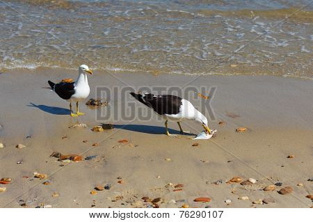 Seagull Eating Fish On Beach Near Sea, Other Seagull Looking
