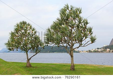 Common Screwpine (pandanus Utilis) Pine Monocot Tree Near Water In Brazil