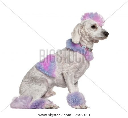 Groomed Poodle With Pink And Purple Fur And Mohawk, 1 Year Old, Sitting In Front Of White Background
