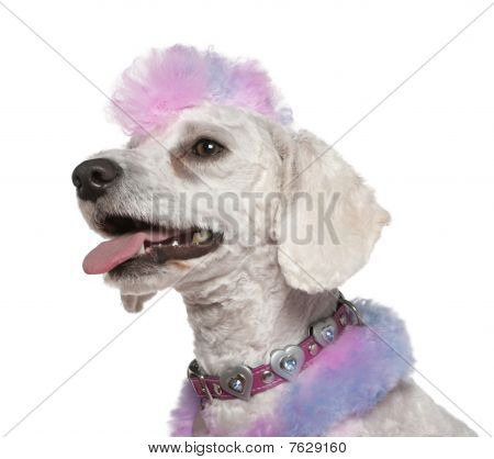 Groomed Poodle With Pink And Purple Fur And Mohawk, 1 Year Old, In Front Of White Background