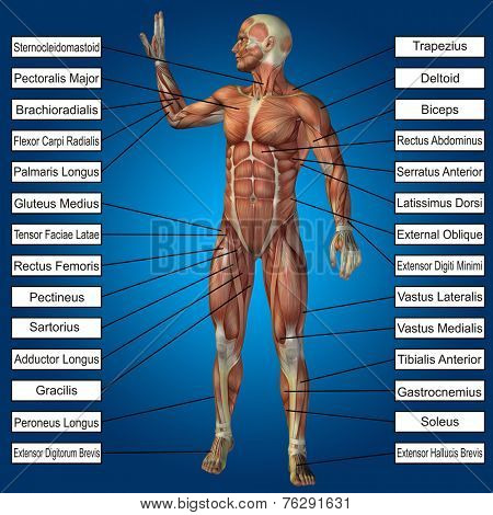 Concept or conceptual 3D male or human anatomy, a man with muscles and text on blue gradient background