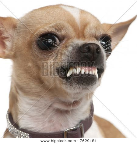 Close-up Of Angry Chihuahua Growling, 2 Years Old, In Front Of White Background