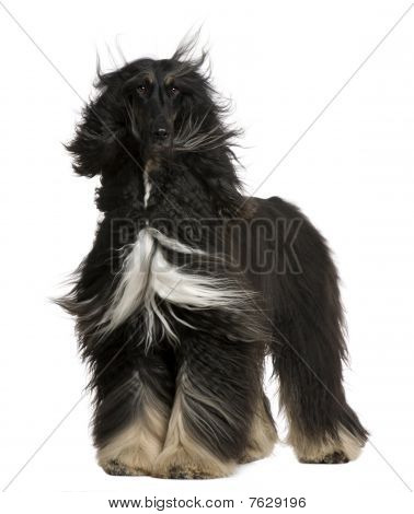 Afghan Hound With His Hair In The Wind, 4 Years Old, Standing In Front Of White Background
