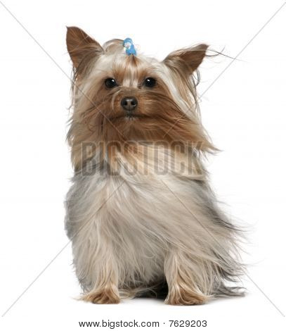 Yorkshire Terrier With Hair In The Wind, 1 And A Half Years Old, Sitting In Front Of White Backgroun