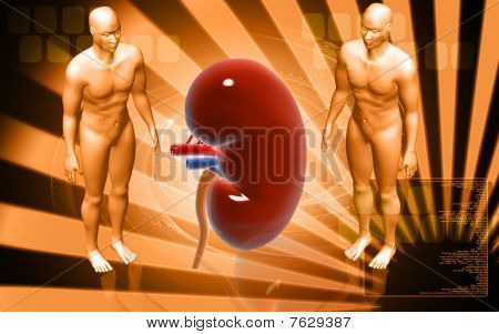 Kidney and human body