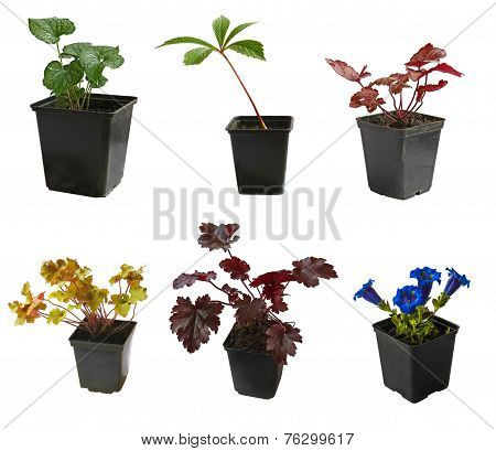 Seedlings Of Garden Decorative Plants In Pots