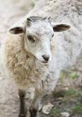 foto of baby sheep  - White fluffy baby sheep close up portrait - JPG