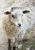 stock photo of baby sheep  - White fluffy baby sheep close up portrait - JPG