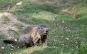 picture of marmot  - Alpine marmot standing in the green grass - JPG