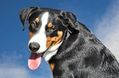 foto of cattle dog  - appenzell cattle  dog against the blue sky - JPG