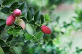 picture of natal  - Red and Green Natal Plum Carissa Grandiflora super Fruit  - JPG