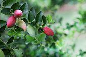 pic of natal  - Red and Green Natal Plum Carissa Grandiflora super Fruit  - JPG