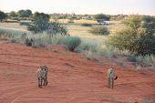 image of cheetah  - Couple of cheetahs during the safary in the savannah Namibia - JPG