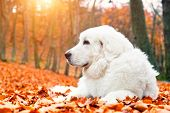 foto of puppy eyes  - Cute white puppy dog lying in leaves in autumn - JPG