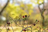 image of wild-brier  - Wild rosehip on bush - JPG