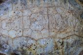 stock photo of carapace  - Texture of Turtle carapace death close up - JPG