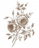foto of english rose  - Hand - JPG