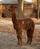 picture of alpaca  - funny fluffy brown alpaca with dry leaves on the fur - JPG