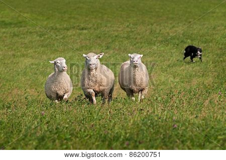 Trio Of Sheep Herded In By Stock Dog