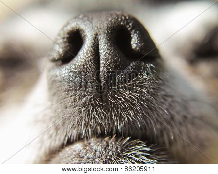 close up of a chihuahua's mouth and nose (very shallow depth of field)
