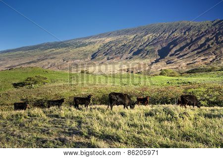 Cattle on the south side of Haleakala, Maui, Hawaii