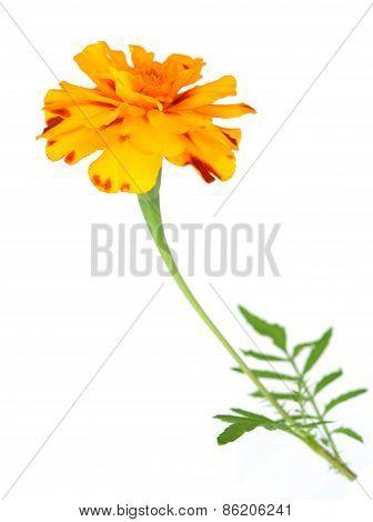 Dark Orange African Marigold