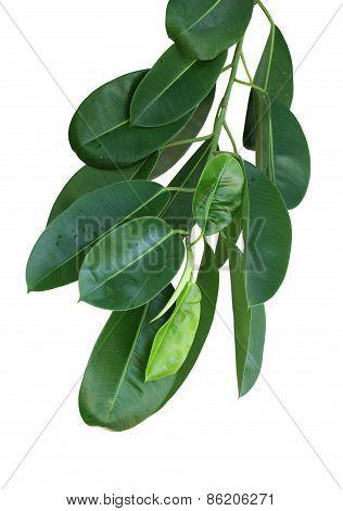 Calophyllum Inophyllum Leaf