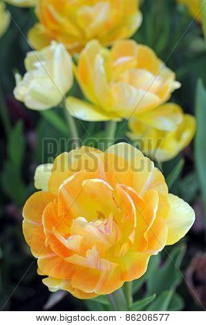 Double Bloom Tulip