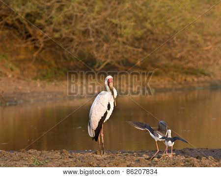 yellow billed stork, Mycteria ibis, Kruger