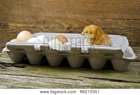 baby chicken with eggs