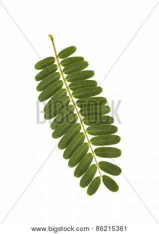 Vegetable Humming Bird Leaf Isolated