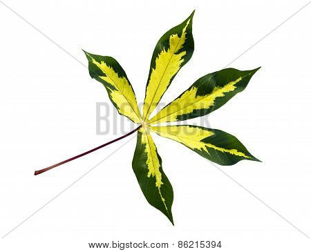 Yellow And Green Cassava Leaf