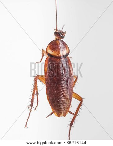 Cockroach Hanging Is Dead Shoot On White Background