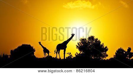giraffes in the field