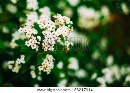 White Spirea Flowers On Bush At Spring