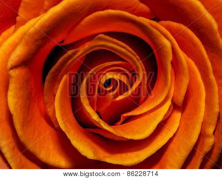 Fiery Rose Bud Closeup