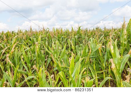 Corn Field Under Blue Sky