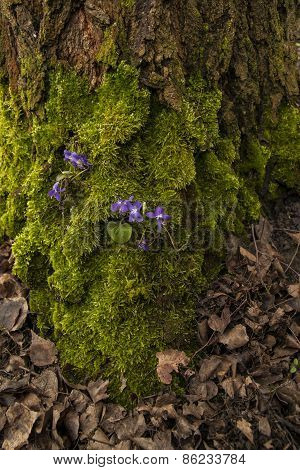 Green moss with violet flowers