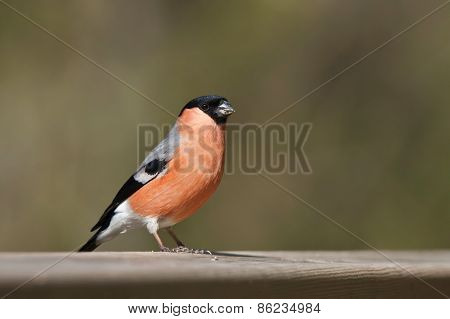 Pyrrhula pyrrhula, eurasian bullfinch perched on a table, Vosges, France