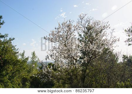 Beautiful Floral Background With Flowering Almond Tree