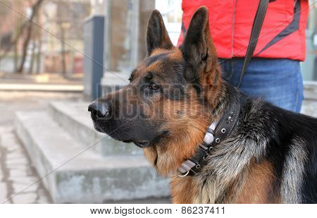 Head And Shoulder Of A Dog  German Shepherd