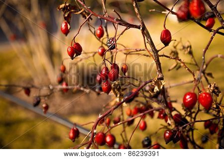 Toned Photo Of Barberry Berries Growing On Bush