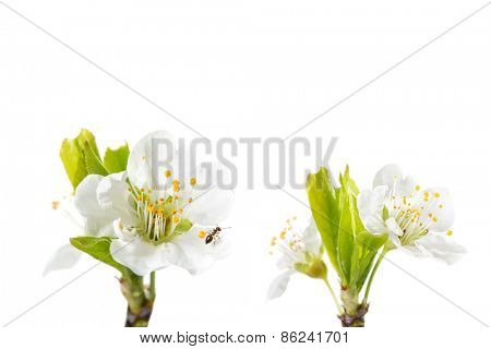 Detail of a plum flower blossom with one ant that live inside it-isolated on white