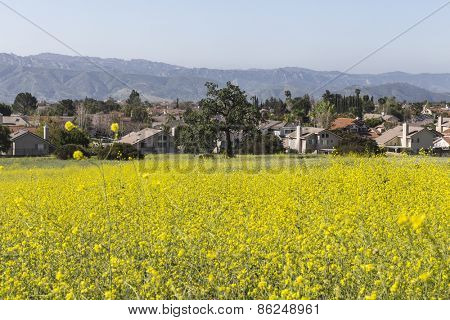Mustard wildflower meadow with suburban background near Los Angeles in Simi Valley, California.