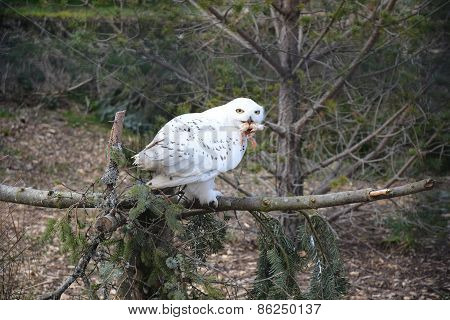 Snowy Owl eating Chick