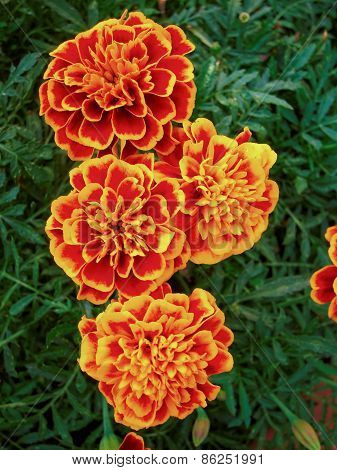 marigold flowers natural background