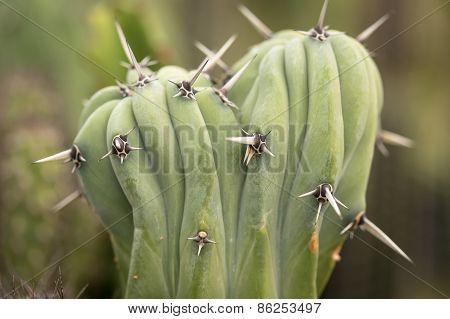 Dry Prickles Cactus Closeup
