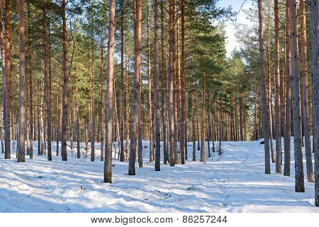 Northern Estonian pine-tree forest winter lanscape