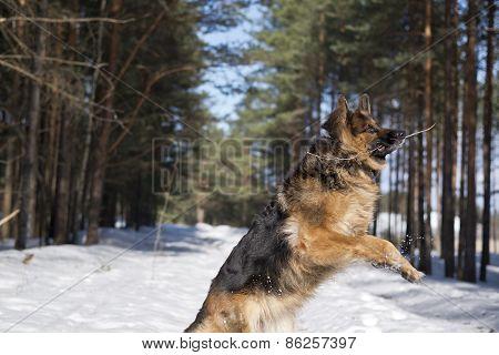 German shepherd dog catching stick while jumping