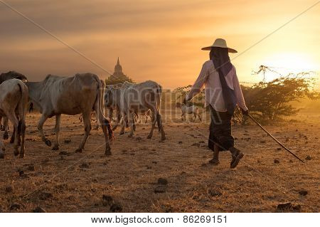 Burmese Herder Leads Cattle At Bagan. Myanmar (burma)